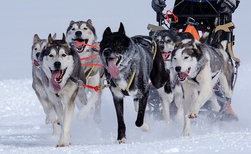 Yukon Quest 1,000 Mile International Sled Dog Race